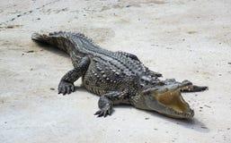 Eau de mer Thaïlande de crocodile Images libres de droits