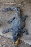 Eau douce de crocodile Image libre de droits