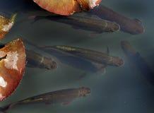 Eau douce Rudd dans l'étang de jardin Photographie stock