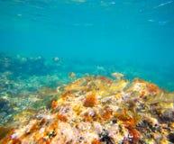 Eau du fond méditerranéenne avec l'école de poissons de salema Photos libres de droits