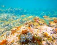 Eau du fond méditerranéenne avec l'école de poissons de salema Photos stock
