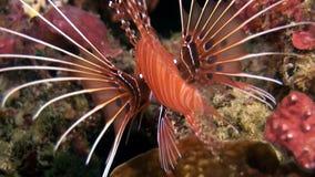 Eau du fond rouge de lionfish de poissons de scorpion sur le fond du fond de la mer en Maldives clips vidéos