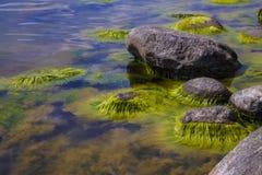 Eau polluée d'algues photos libres de droits