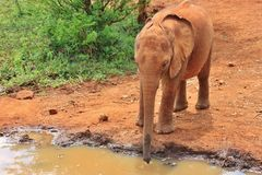 Eau potable d'éléphant de bébé Images stock