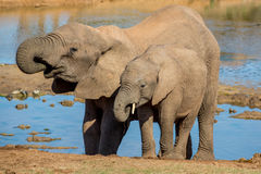 Eau potable d'éléphants africains Photos stock