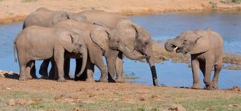 Eau potable d'éléphants africains Image stock
