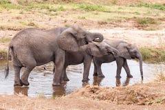 Eau potable d'éléphants en rivière de Tarangire Images stock
