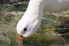 Eau potable d'oie blanche Images libres de droits