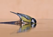 Eau potable d'oiseau. Images libres de droits