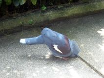 Eau potable d'oiseau assoiffé photo libre de droits