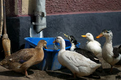 Eau potable de canard Photos libres de droits