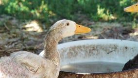 Eau potable de canard blanc d'un bassin en acier (fin) clips vidéos