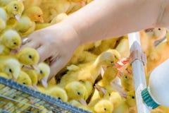Eau potable de canetons jaunes nouveau-nés de bébés d'un buveur automatique Affaires agricoles Vente des oiseaux sur l'agriculteu photographie stock libre de droits