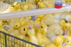 Eau potable de canetons nouveau-nés de bébés d'un buveur automatique Affaires agricoles march? du ` s d'agriculteur photo stock