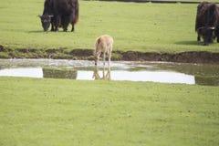 Eau potable de cerfs communs hors d'un étang Image libre de droits