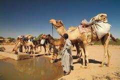 Eau potable de chameaux image stock