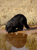 Eau potable de chat noir Images stock