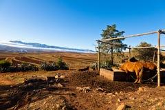 Eau potable de chevaux dans un horizontal de montagne Images stock