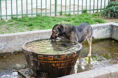 Eau potable de chien Photo libre de droits