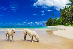 Eau potable de deux chiens blancs sur la plage tropicale Photo stock