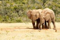 Eau potable de deux d'amour éléphants d'oiseaux Photographie stock libre de droits