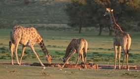 Eau potable de girafes banque de vidéos