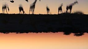 Eau potable de girafes dans le point d'eau banque de vidéos