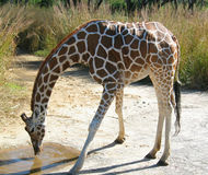 Eau potable de giraffe Photographie stock