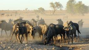 Eau potable de gnou bleu - désert de Kalahari banque de vidéos