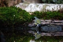 Eau potable de grande mésange d'un étang tranquille photographie stock libre de droits