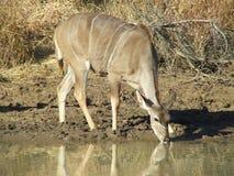 Eau potable de Kudu Image libre de droits