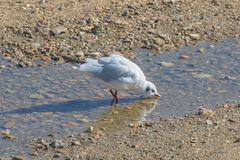Eau potable de mouette Photo stock