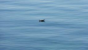 Eau potable de mouette en mer Image libre de droits