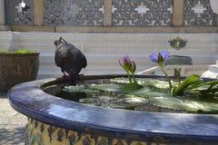 Eau potable de pigeon Images stock