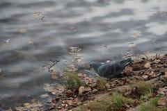 Eau potable de pigeon de l'étang images stock