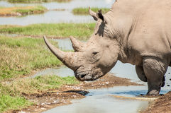 Eau potable de rhinocéros blanc Photos libres de droits
