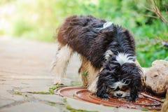 Eau potable de roi Charles de chien cavalier d'épagneul de magma sur la promenade dans le jardin d'été Photographie stock libre de droits