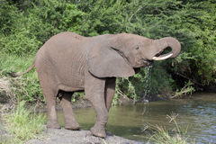 Eau potable d'éléphant Images stock
