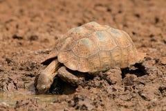Eau potable de tortue de léopard Images libres de droits