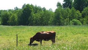 Eau potable de vache de récipient dans le pré clips vidéos