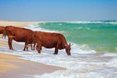 Eau potable de vaches de mer Images stock