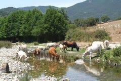 Eau potable de vaches sur le fleuve Rizzanese chez Sartene Image libre de droits