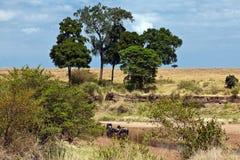 Eau potable de Wildebeest dans le fleuve Image stock