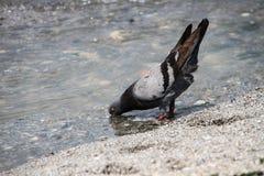 Eau potable drôle de colombe Photo libre de droits