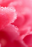 eau rose de fleur de gouttelettes d'oeillet la macro Photographie stock