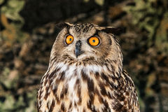 Eaurasian Owl Royalty Free Stock Photo