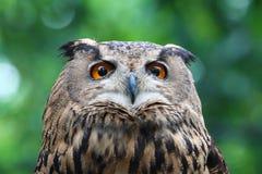Eaurasian Owl Stock Image