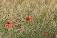 Eautiful在领域的麦子中开花 图库摄影