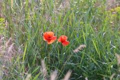 Eautiful цветет среди пшеницы на поле Стоковое Фото