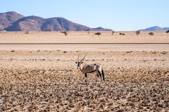 Eautiful Gemsbok, also called Oryx antelope, standing in the Namib Desert in Namibia. Beautiful Gemsbok, also called Oryx antelope, standing in the Namib Desert Royalty Free Stock Photography